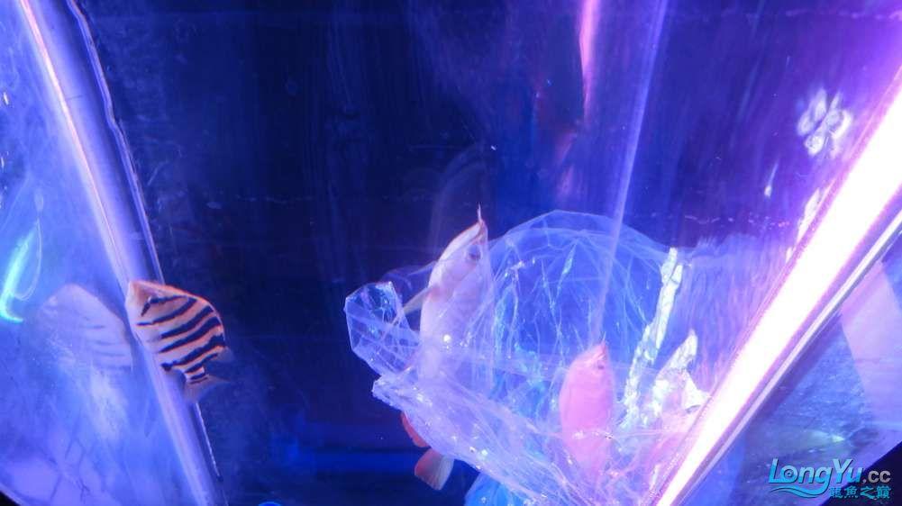 今天请的小红龙大伙儿过过目 北京观赏鱼 北京龙鱼第3张