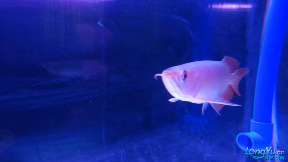 今天请的小红龙大伙儿过过目 北京观赏鱼 北京龙鱼第7张
