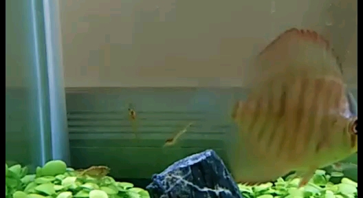 都说草籽怎样怎样试试看 北京观赏鱼 北京龙鱼第1张