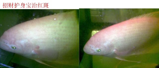 这条鱼隐墨能长出来吗? 北京观赏鱼 北京龙鱼第2张