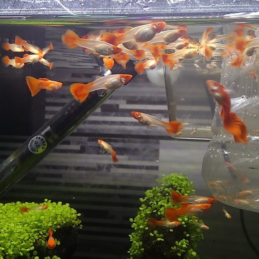 小鱼也都压成了都很健康 北京龙鱼论坛 北京龙鱼第2张