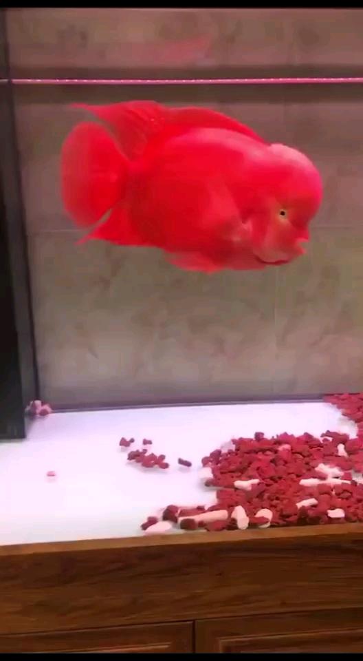 汗血宝马魟鱼