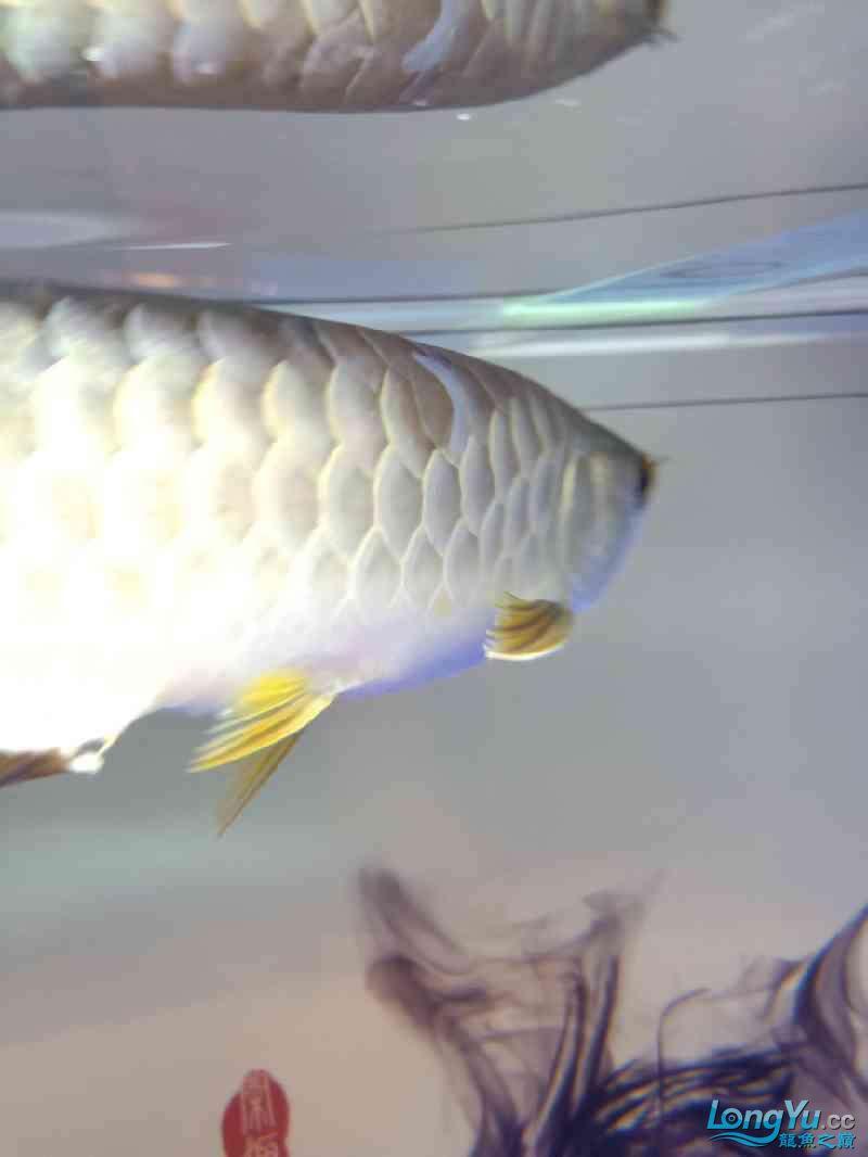 北京虎鱼价格这个鱼尾能长出来吗? 北京龙鱼论坛 北京龙鱼第2张