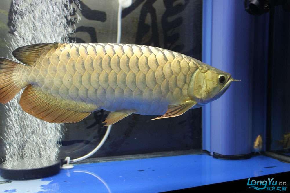 继上次发帖很多鱼友问我的龙鱼怎么胖吃什么的?来看看吧 北京观赏鱼 北京龙鱼第4张