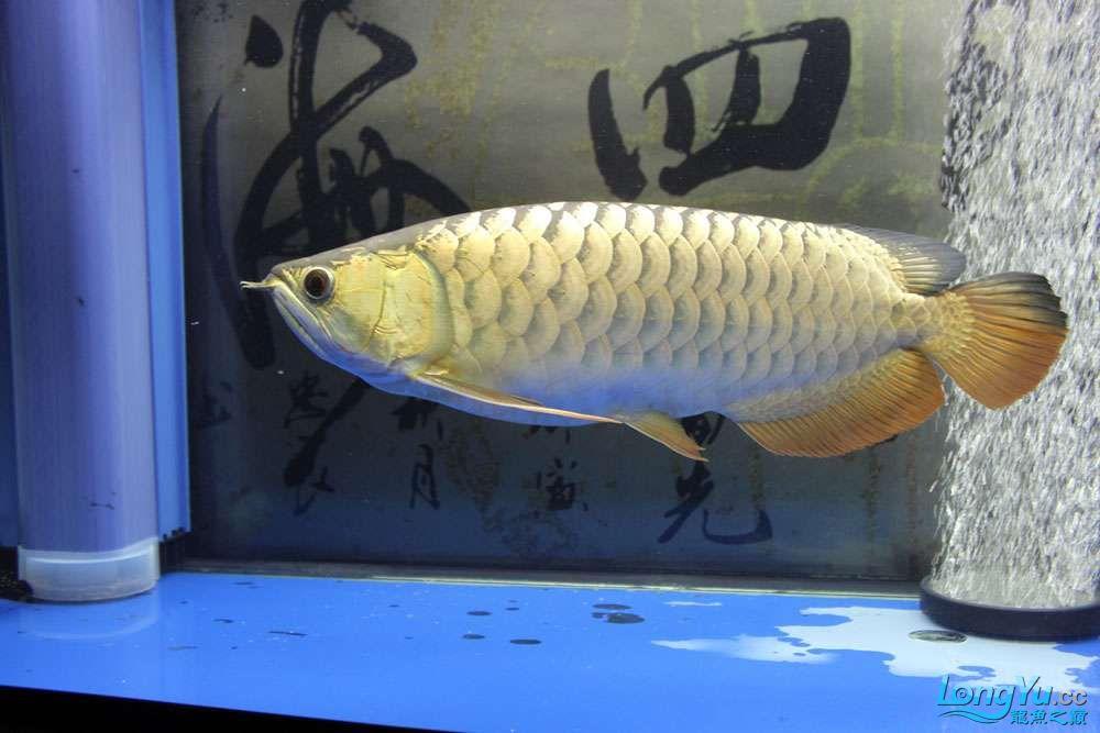 继上次发帖很多鱼友问我的龙鱼怎么胖吃什么的?来看看吧 北京观赏鱼 北京龙鱼第5张