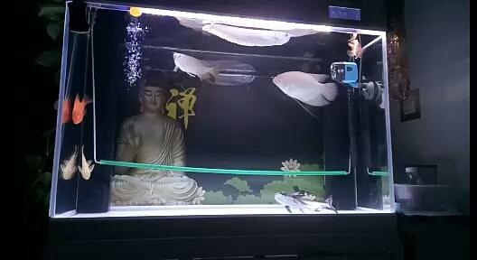 北京最好养的淡水观赏鱼看鱼龙鱼 北京观赏鱼 北京龙鱼第1张