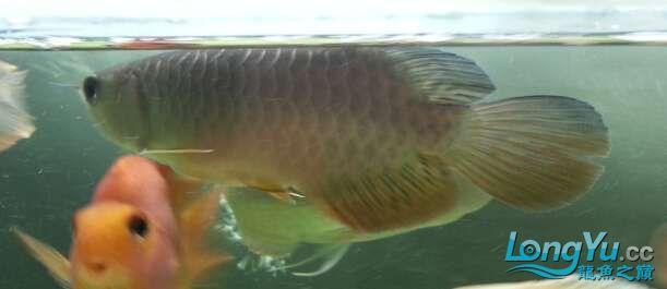 请回的龙龙求鉴定 北京龙鱼论坛 北京龙鱼第4张