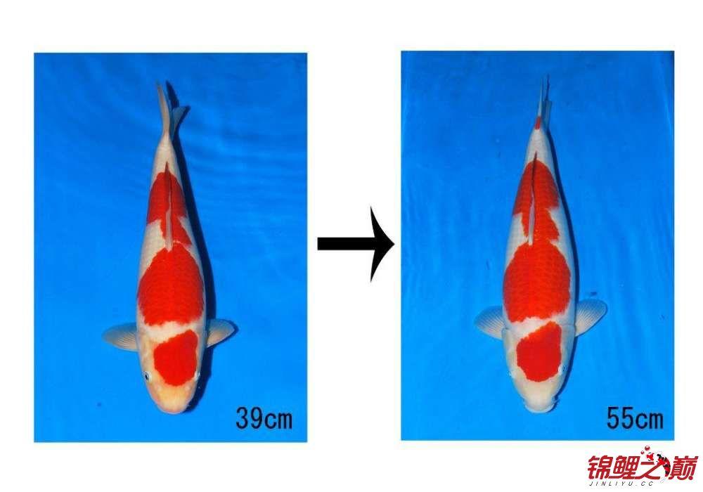 得将锦鲤的发展真的是越来越好看 北京观赏鱼 北京龙鱼第1张