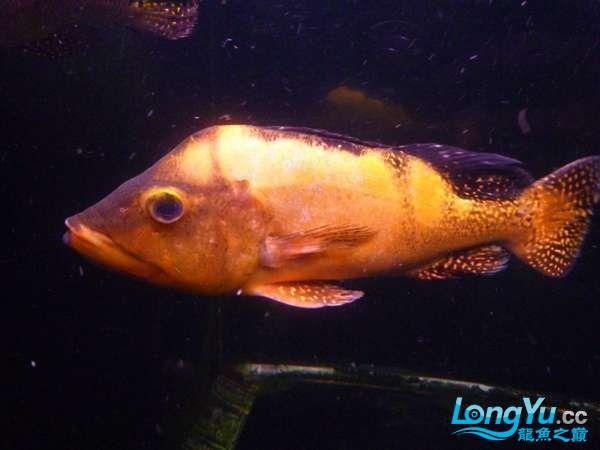 稀有的黄化巴西亚世界仅此一条 北京观赏鱼 北京龙鱼第2张