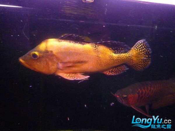 稀有的黄化巴西亚世界仅此一条 北京观赏鱼 北京龙鱼第3张