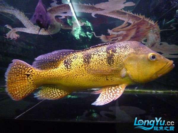 稀有的黄化巴西亚世界仅此一条 北京观赏鱼 北京龙鱼第1张