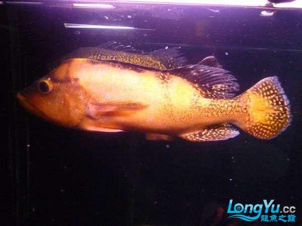 稀有的黄化巴西亚世界仅此一条 北京观赏鱼 北京龙鱼第4张