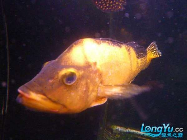 稀有的黄化巴西亚世界仅此一条 北京观赏鱼 北京龙鱼第5张