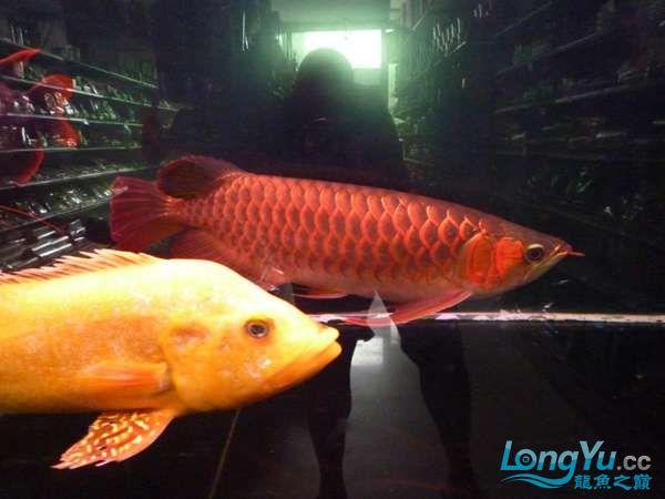 稀有的黄化巴西亚世界仅此一条 北京观赏鱼 北京龙鱼第7张