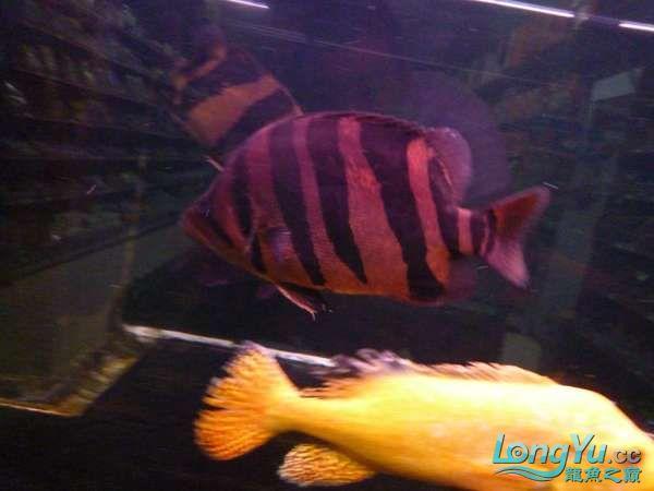 稀有的黄化巴西亚世界仅此一条 北京观赏鱼 北京龙鱼第8张