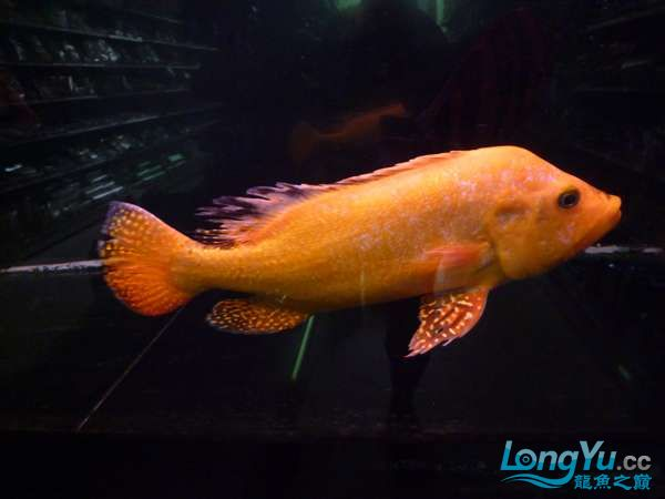 稀有的黄化巴西亚世界仅此一条 北京观赏鱼 北京龙鱼第9张