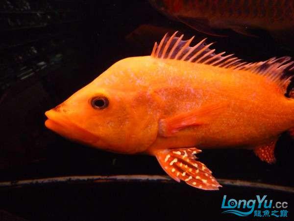 稀有的黄化巴西亚世界仅此一条 北京观赏鱼 北京龙鱼第11张