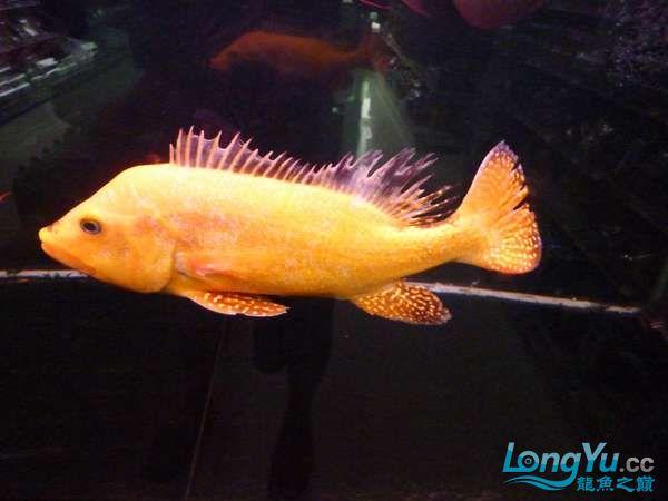稀有的黄化巴西亚世界仅此一条 北京观赏鱼 北京龙鱼第10张