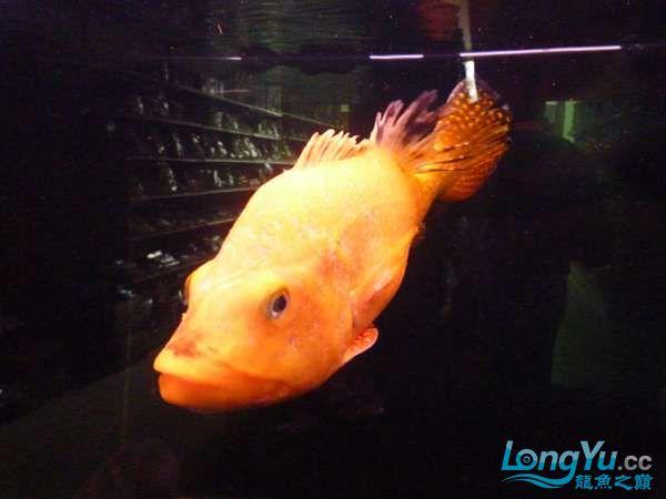 稀有的黄化巴西亚世界仅此一条 北京观赏鱼 北京龙鱼第12张