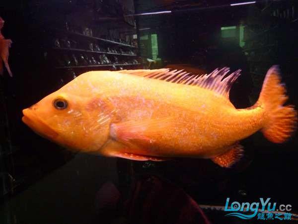 稀有的黄化巴西亚世界仅此一条 北京观赏鱼 北京龙鱼第13张