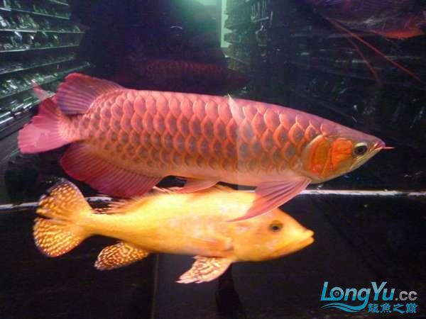 稀有的黄化巴西亚世界仅此一条 北京观赏鱼 北京龙鱼第14张