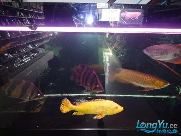 稀有的黄化巴西亚世界仅此一条 北京观赏鱼 北京龙鱼第15张