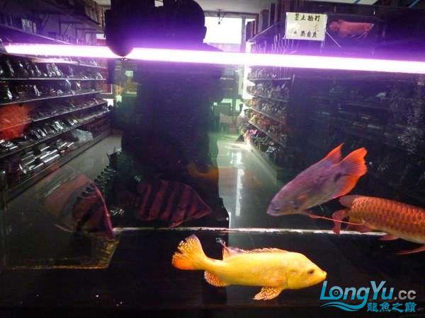 稀有的黄化巴西亚世界仅此一条 北京观赏鱼 北京龙鱼第16张