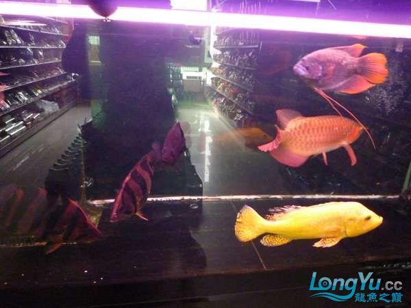 稀有的黄化巴西亚世界仅此一条 北京观赏鱼 北京龙鱼第17张