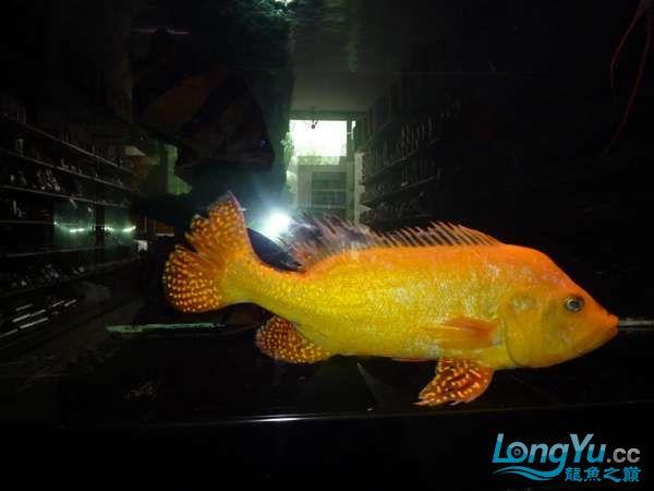 稀有的黄化巴西亚世界仅此一条 北京观赏鱼 北京龙鱼第19张