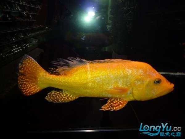 稀有的黄化巴西亚世界仅此一条 北京观赏鱼 北京龙鱼第20张