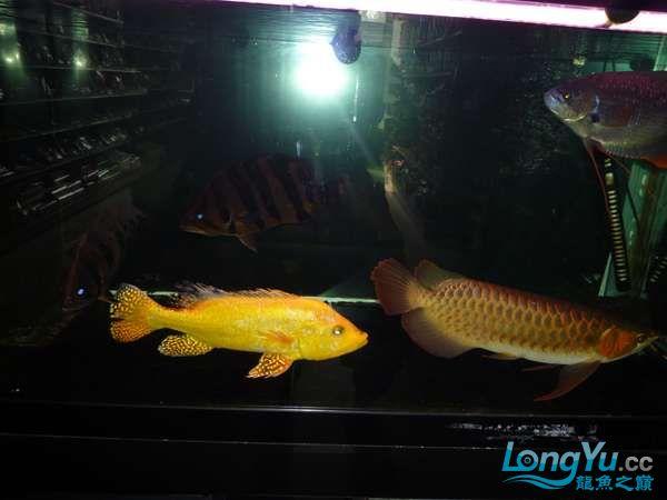 稀有的黄化巴西亚世界仅此一条 北京观赏鱼 北京龙鱼第18张