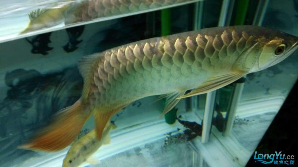江湖救急大神们帮我看看我的龙鳞怎么回事 北京龙鱼论坛 北京龙鱼第2张