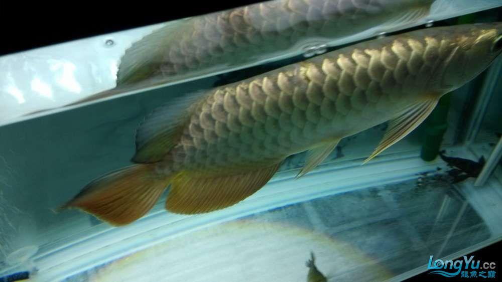 江湖救急大神们帮我看看我的龙鳞怎么回事 北京龙鱼论坛 北京龙鱼第6张