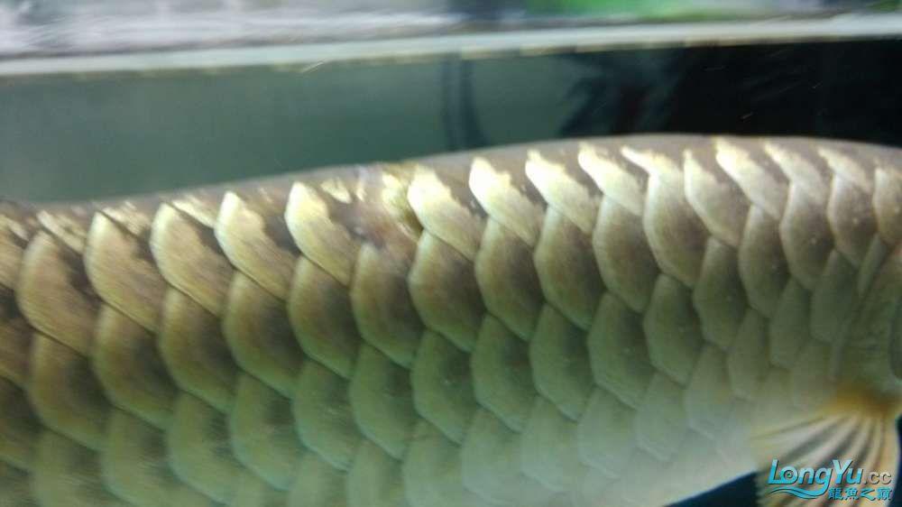 江湖救急大神们帮我看看我的龙鳞怎么回事 北京龙鱼论坛 北京龙鱼第8张