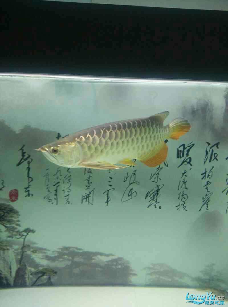 大神帮忙看下是条啥龙 北京龙鱼论坛 北京龙鱼第2张