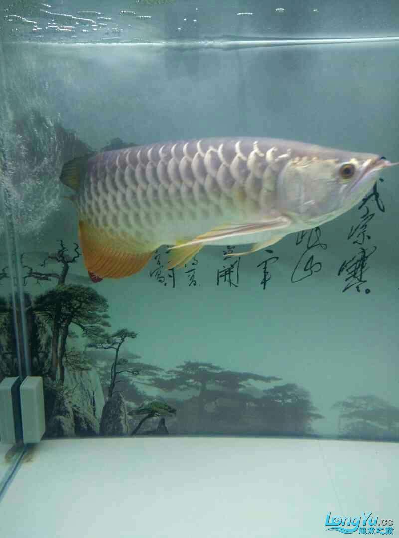 大神帮忙看下是条啥龙 北京龙鱼论坛 北京龙鱼第1张
