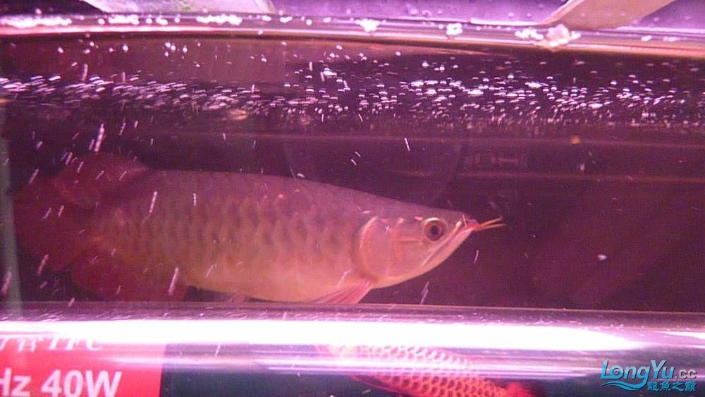 大家PP我的小龙 北京观赏鱼 北京龙鱼第3张