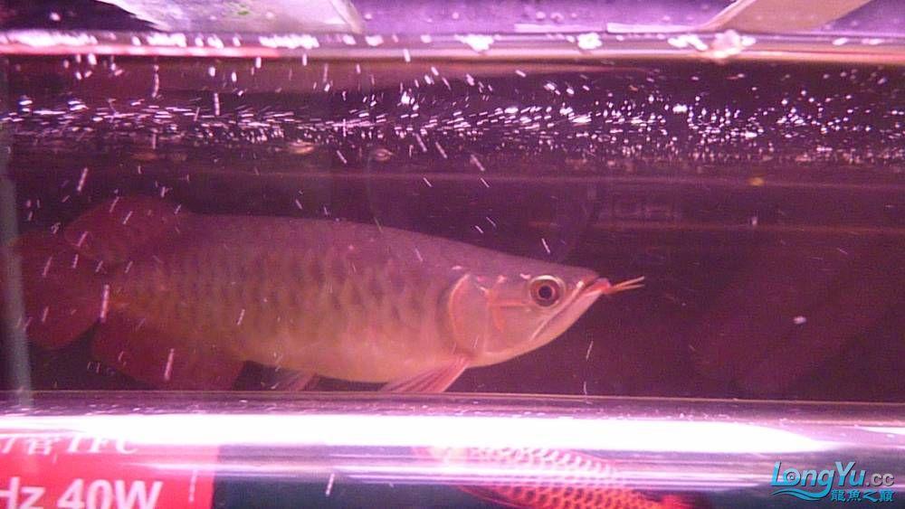 大家PP我的小龙 北京观赏鱼 北京龙鱼第2张