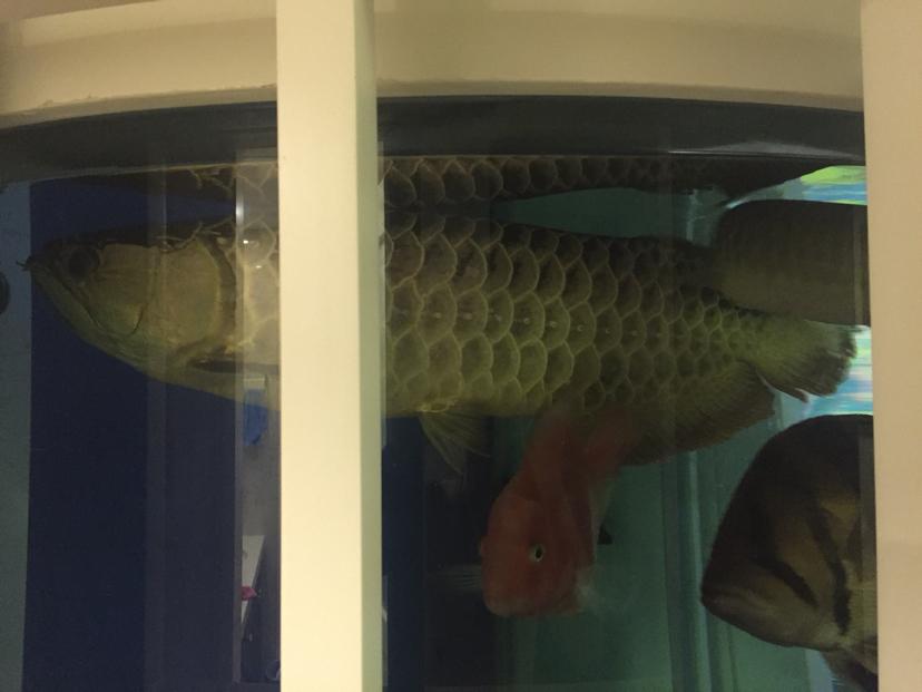 混养总要付出点代价的 北京观赏鱼 北京龙鱼第3张