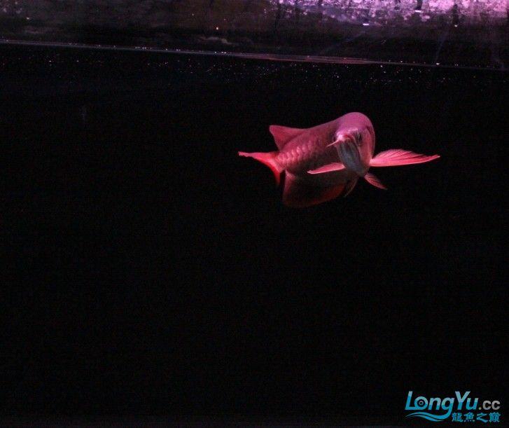 可怜的 小瑰宝 贪吃的后果 北京观赏鱼 北京龙鱼第2张