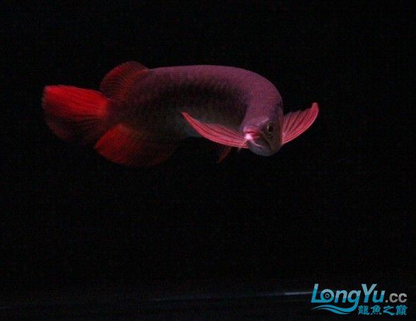 可怜的 小瑰宝 贪吃的后果 北京观赏鱼 北京龙鱼第1张