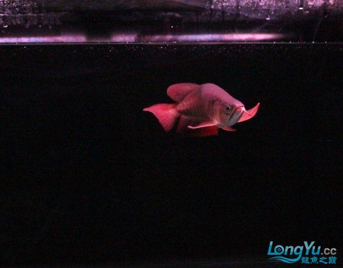 可怜的 小瑰宝 贪吃的后果 北京观赏鱼 北京龙鱼第4张
