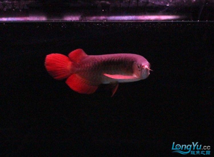 可怜的 小瑰宝 贪吃的后果 北京观赏鱼 北京龙鱼第3张