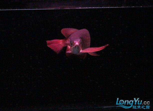 可怜的 小瑰宝 贪吃的后果 北京观赏鱼 北京龙鱼第5张