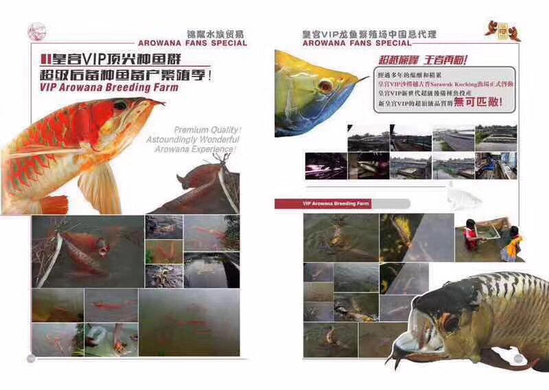 皇宫VIP龙鱼繁殖场 北京观赏鱼 北京龙鱼第2张