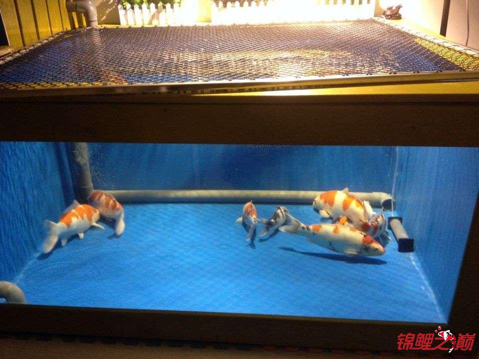 新缸陋鱼 北京观赏鱼 北京龙鱼第4张