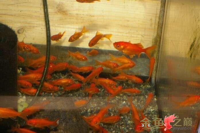 养了一缸小红怎么样? 北京观赏鱼 北京龙鱼第2张