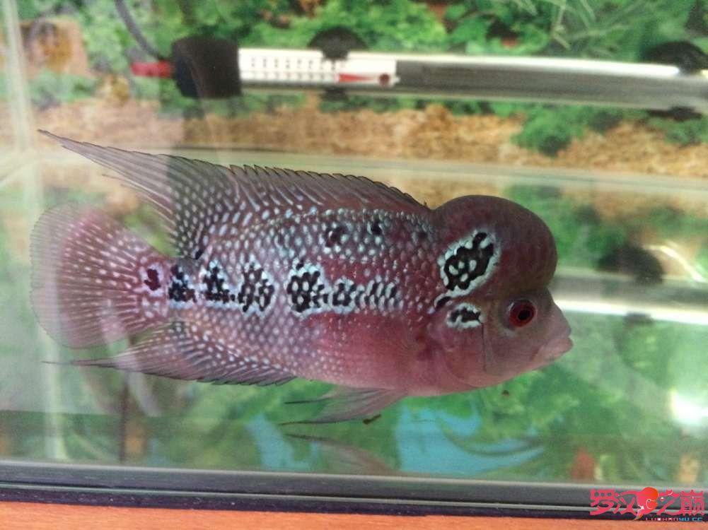 同学让我放生了大神们帮忙看看这鱼如何 北京龙鱼论坛 北京龙鱼第7张