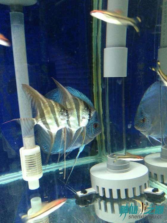 这神仙不错 北京观赏鱼 北京龙鱼第1张