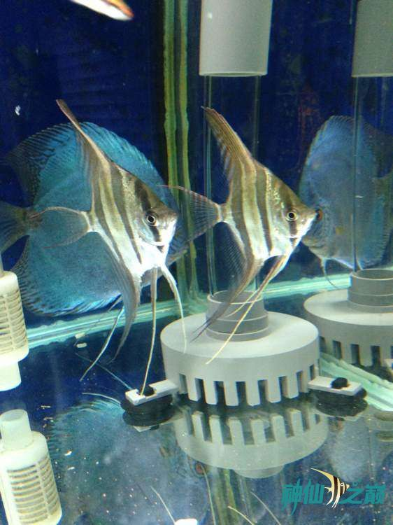 这神仙不错 北京观赏鱼 北京龙鱼第2张
